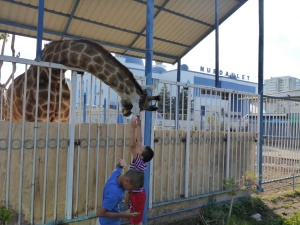 Nurdaulet mosque complex's lone giraffe obviously loves being stroked