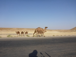 We came across many camels in Turkmenistan
