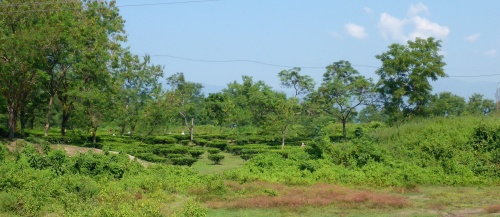 Tea plantation in West Bengal