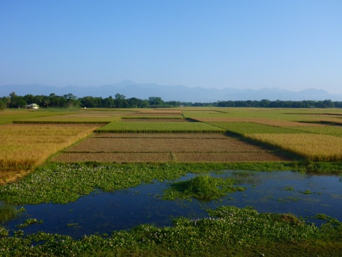 Rice fields in Assam