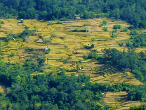 Rice fields near Kohima, India