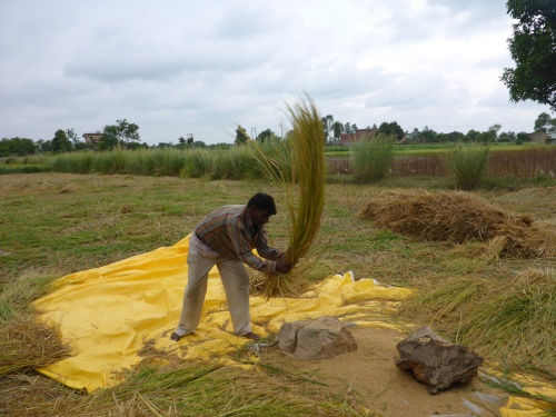 Threshing rice in India