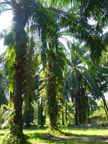 Palm oil trees - so beautiful yet so lethal