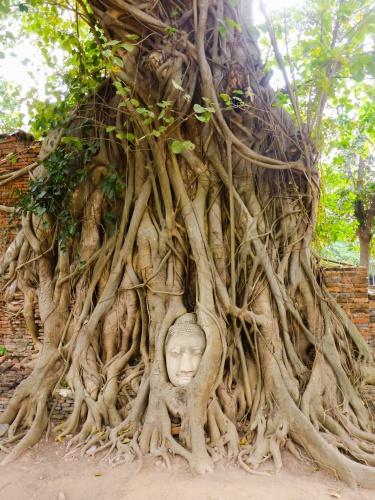 Buddha head in Bodhi tree, Wat Mahathat, Ayutthaya, Thailand