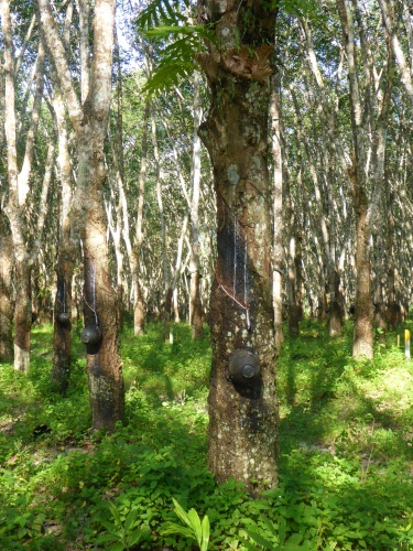 Rubber trees near Trang, Thailand