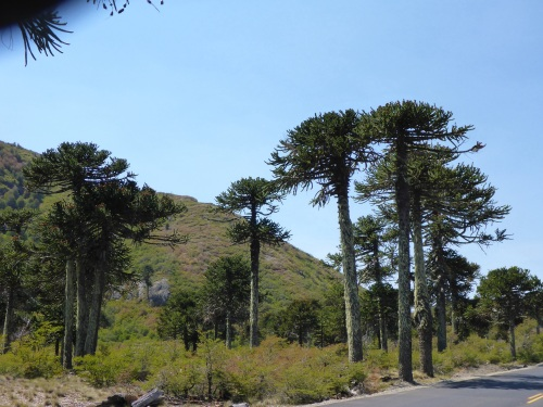 Monkey puzzle trees in Lanin National Park