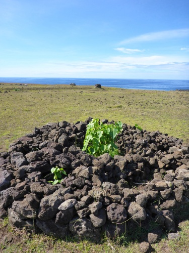 Garden bed near ahu Akahanga where plants are surrounded by lava rocks for nutrients