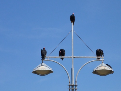 Vultures in Taltal