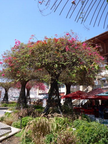 Loved this way of training bougainvellias into 'trees' in Antofagasta