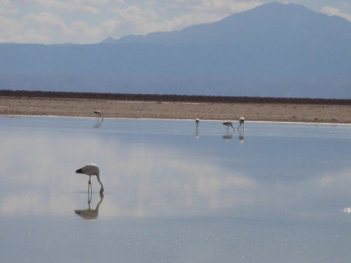 Andean flamingos at the National Flamingo Reserve within the Salar de Atacama