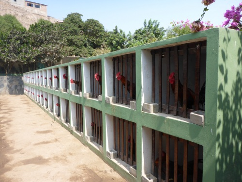 One of several rows of fighting roosters' cages