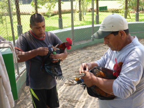 Fitting the 'boxing gloves' onto the roosters' spurs for a fighting demonstration