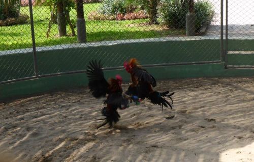Fighting roosters practicing