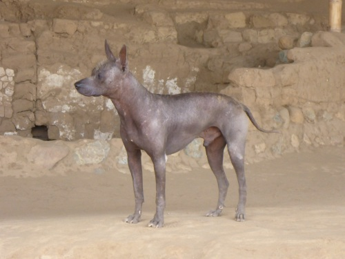 Hairless Peruvian dog, shown in Moche engravings.