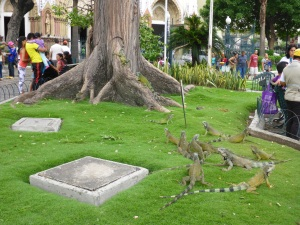 Iguanas in a Guayaquil city centre park