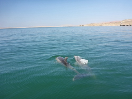 Dolphins escorted us for a while near Islas Ballestas