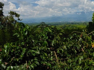 Armenia coffee growing area, Colombia