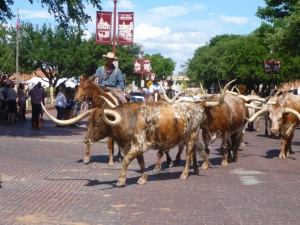 Fort Worth long horns, Texas