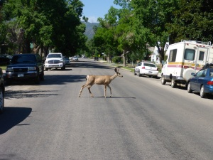 Deer in suburban Salida