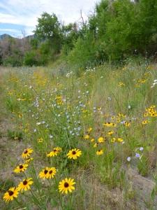 Boulder wildflowers