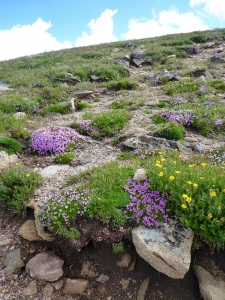 Rocky Mountain National Park wildflowers