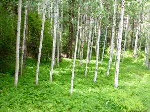 Aspen trees along the Animas river