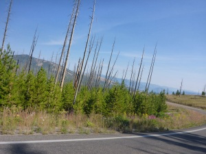 Regenerated forest in Yellowstone