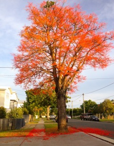 We got home in time to see the glorious flame trees still in bloom