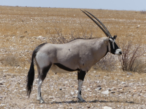 A beautiful oryx