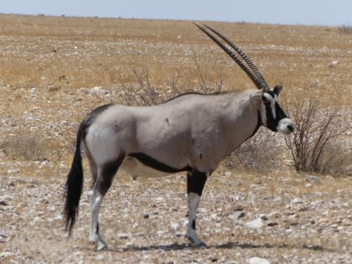 A beautiful oryx