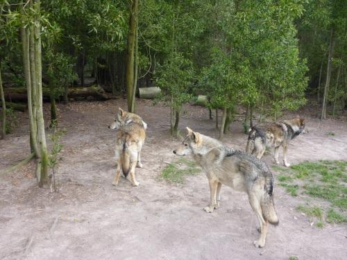Woolfdogs sanctuary, Plettenberg Bay, South Africa