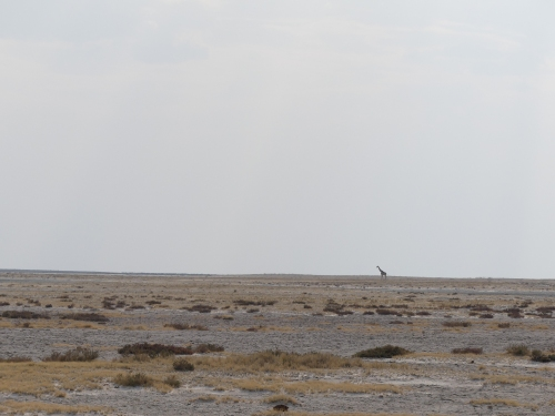 Lone giraffe on the Etosha Pan.