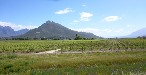 Western Cape vineyards, South Africa