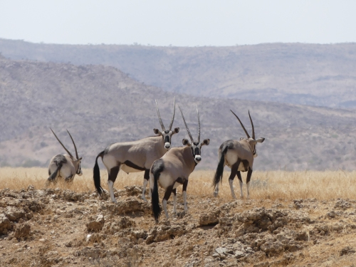 Oryx family in the Hartmann Valley