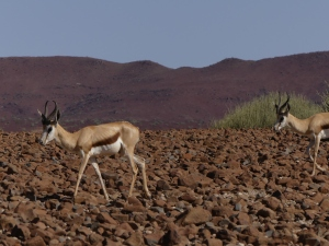 Springbok at Palmwag Reserve
