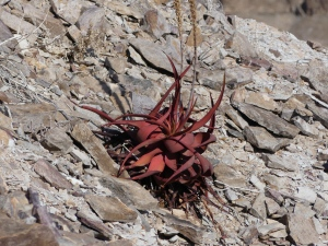 Anyone identify this plant at the Fish river canyon?